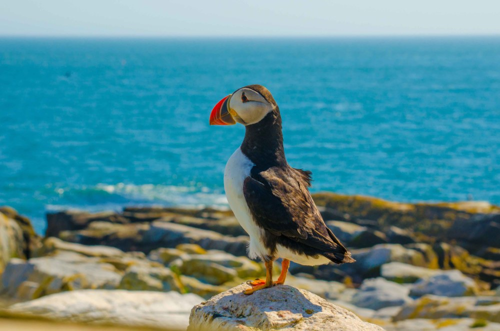 Puffin overlooking the ocean while perched